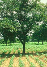 karite tree, source of shea butter